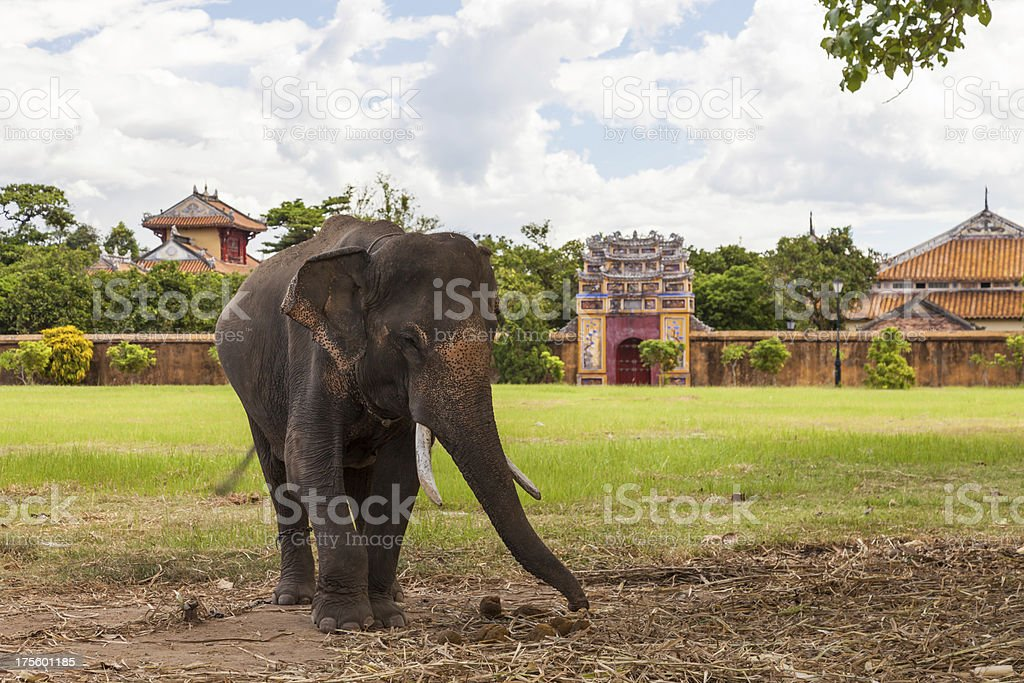 Asian Elephant in the Imperial City of Hue, Vietnam stock photo