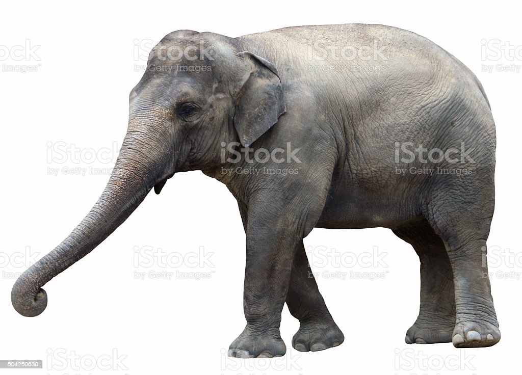 Asian Elephant Isolated Background stock photo