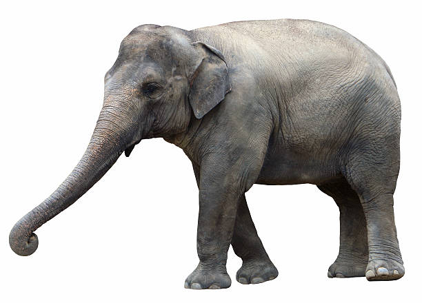 Asian Elephant Isolated Background stock photo