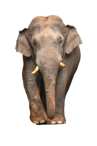 Asian elephant isolated on white background Asian elephant isolated on white background elephant calf stock pictures, royalty-free photos & images
