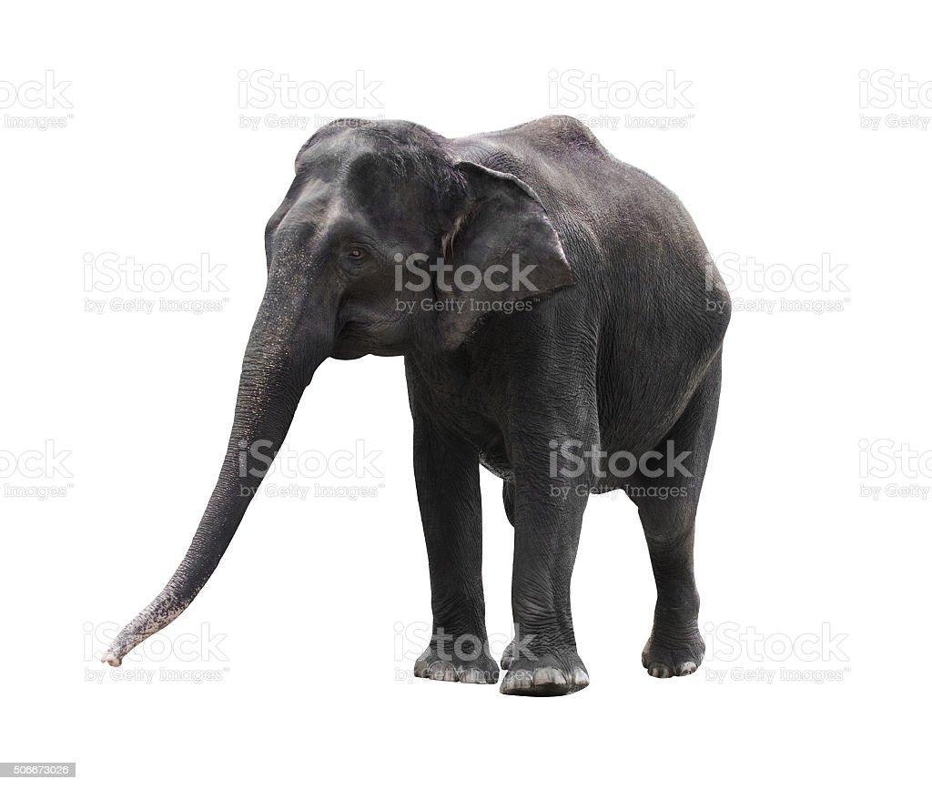 asian elephant isolated on white background stock photo