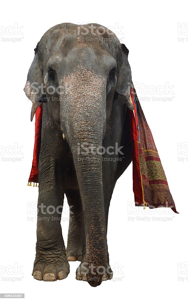 Asian elephant isolated on white background royalty-free stock photo