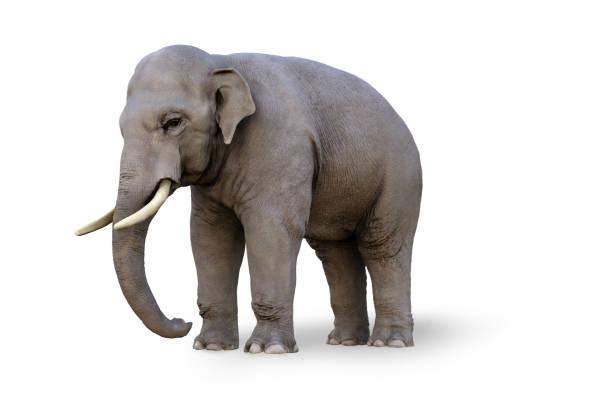Asiatischer Elefant isoliert auf weiß – Foto