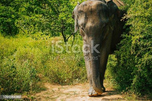 Nature photograph of an Asian elephant (Elephasmaximus),SriLanka