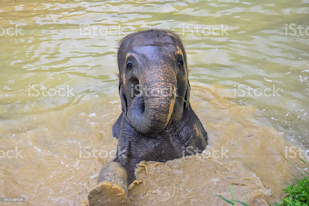 Asian elephant swimming in Thailand stock photo