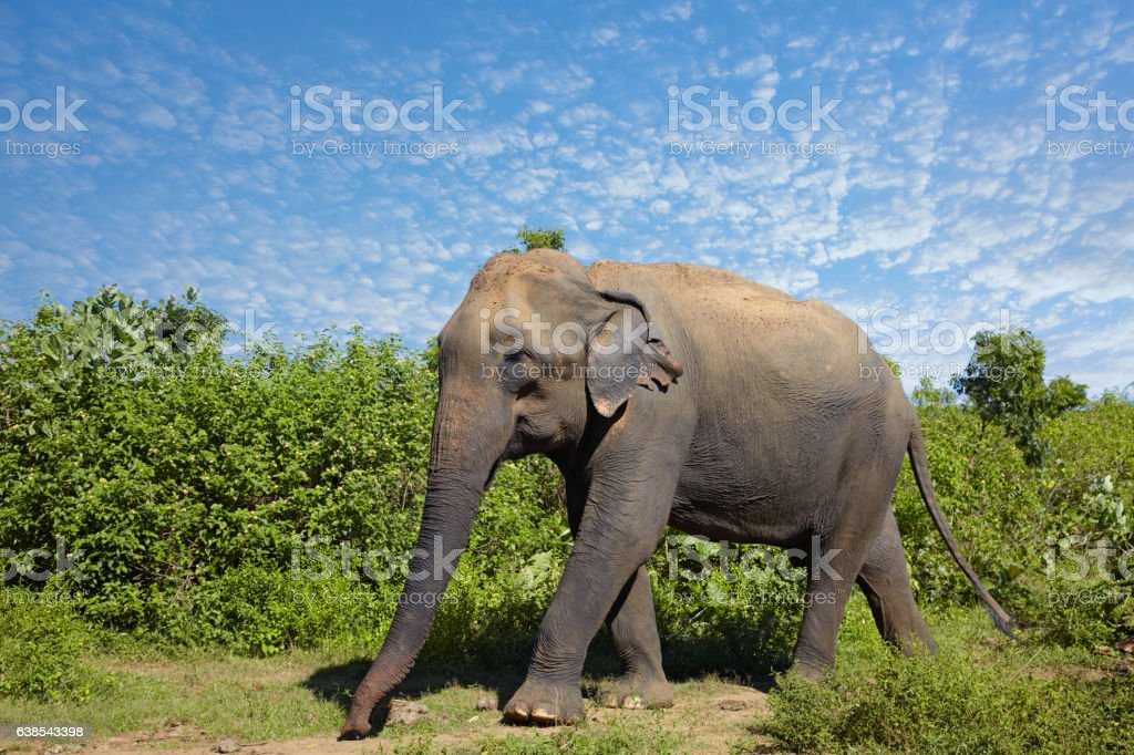 Asian elephant walking on the grass stock photo