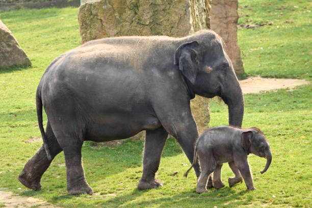 Asian elephant with calf stock photo