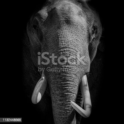 Asian Elephant with large tusks looking directly at the camera. The Asian or Asiatic elephant (Elephas maximus) has been listed as endangered as the population has declined by at least 50% over the last three generations.