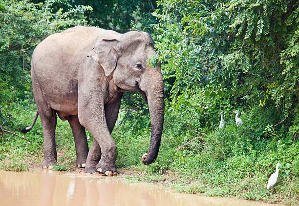 """Asian Elephant (Elephas maximus); Yala NP, Sri Lanka """"A wild Asian Elephant,"""" yala stock pictures, royalty-free photos & images"""