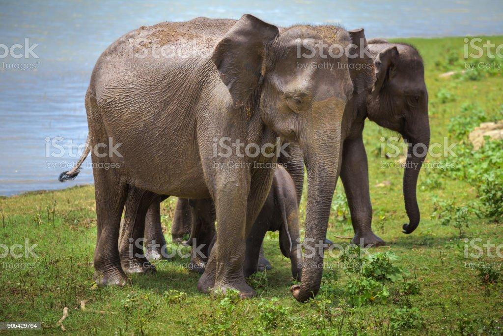 Asian elephants after watering. Pinnawala - Zbiór zdjęć royalty-free (Cień)