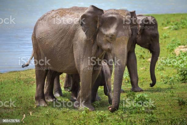 Słonie Azjatyckie Po Podlewaniu Pinnawala - zdjęcia stockowe i więcej obrazów Cień