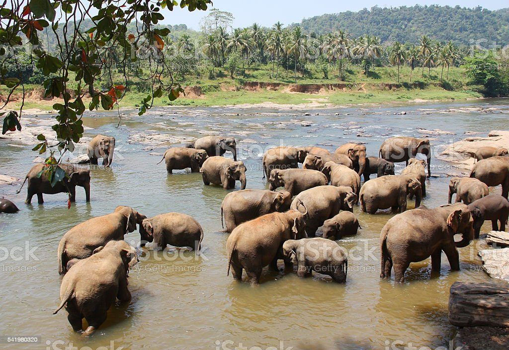 Asian elephants bathing in the river at Pinnawala Elephant Orphanage stock photo