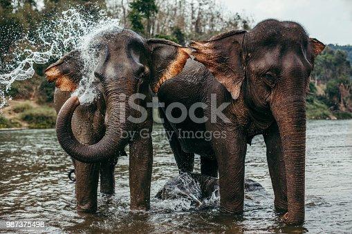 Two asian elephants bathing in a river in Laos