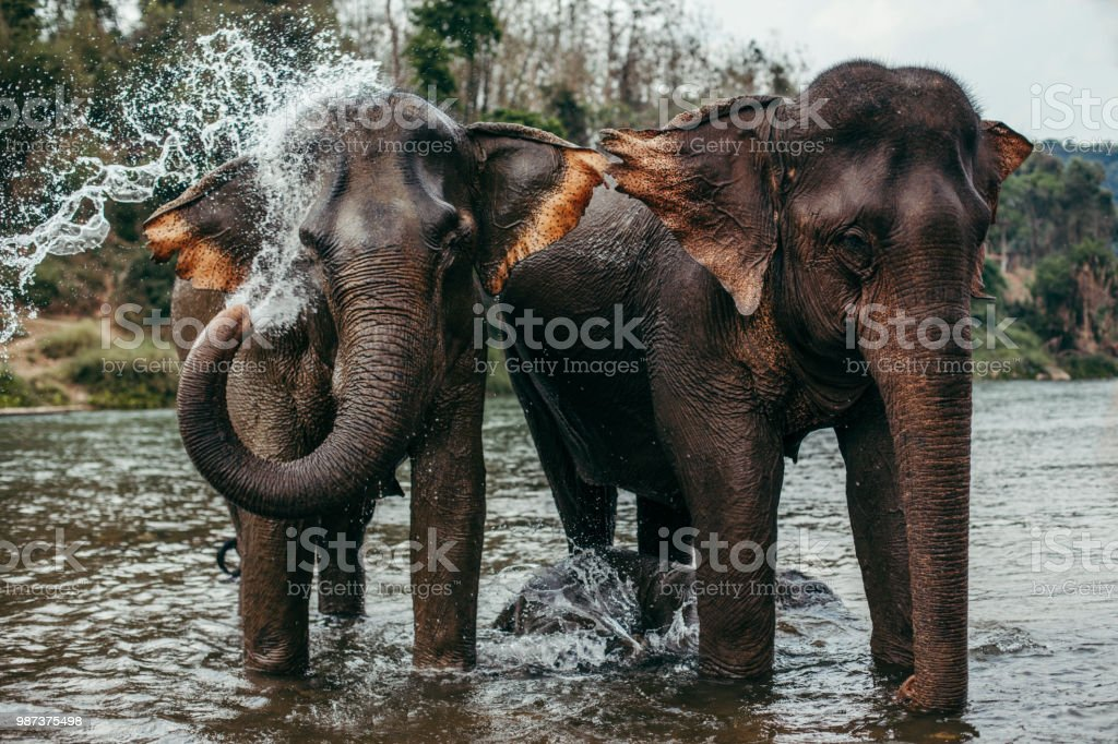 Asian Elephants Bathing stock photo