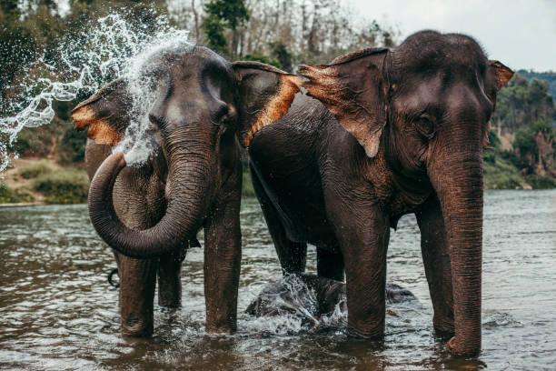Asian Elephants Bathing stock photo