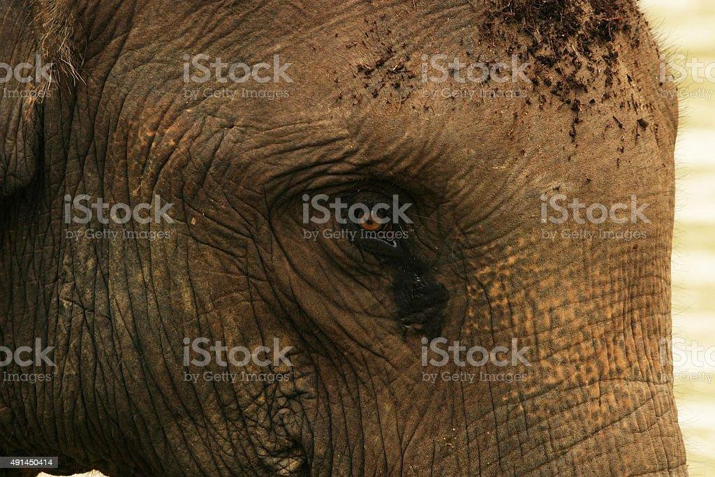 Asiatische Elefanten Nahaufnahme von Gesicht und Augen – Foto