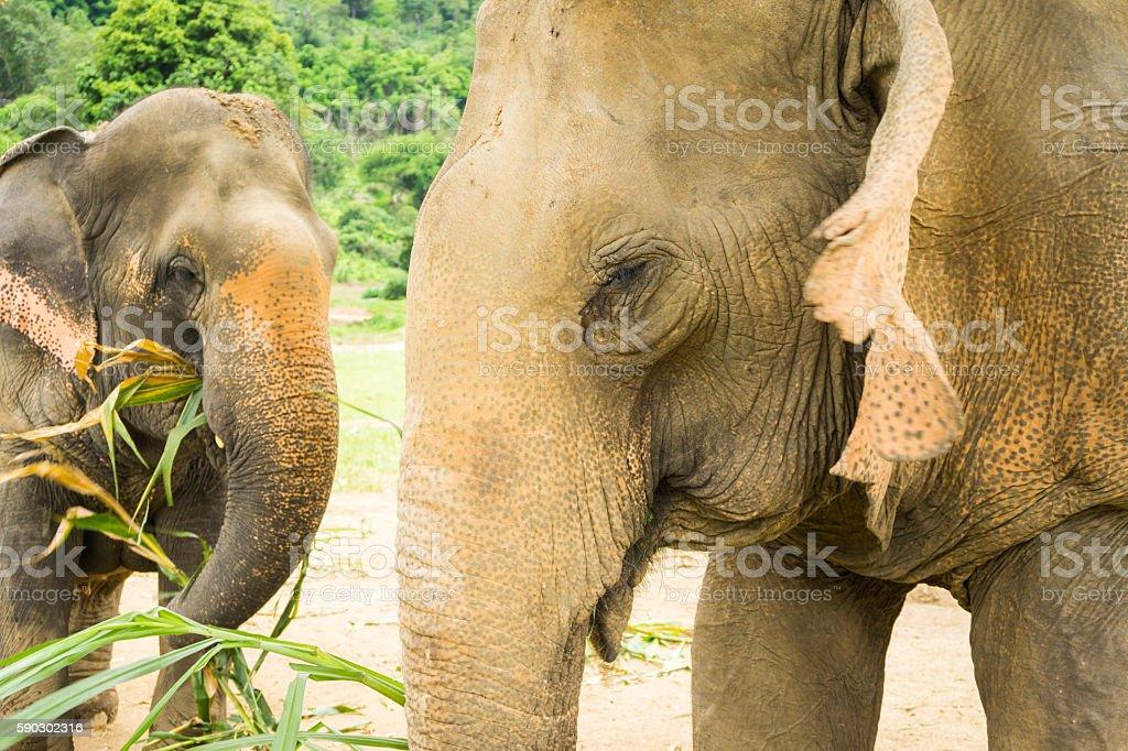 Asian Elephants Eating In Thailand Sanctuary royaltyfri bildbanksbilder