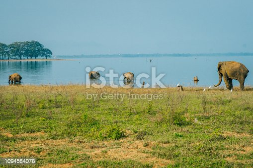 Nature photograph with a group of Asian elephants (Elephas maximus) in river and on riverbank, Sri Lanka