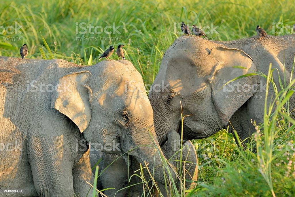Asian Elephants a pair of wild Elephants bond in Kaziranga National Park, India Animal Stock Photo