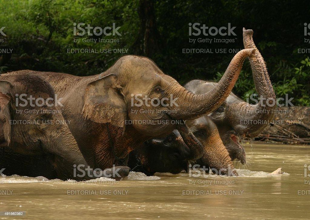Asiatische Elefanten-Waschung und hebe Badehose in river – Foto