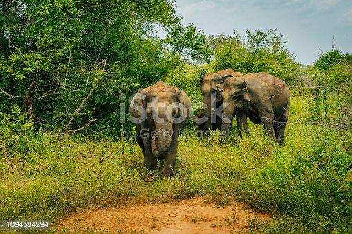 Nature photograph of a small group of Asian elephants(Elephasmaximus),SriLanka