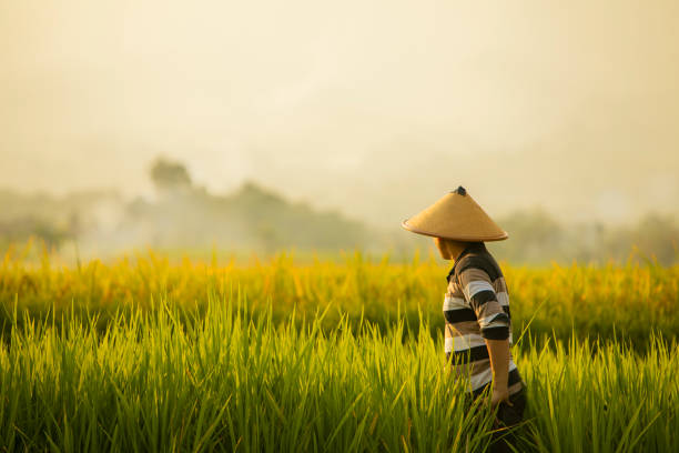 Asian farmer in rice field with mountain on the background stock photo