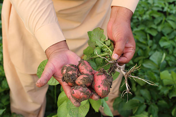 Asian Farmer Showing Potato Crop stock photo