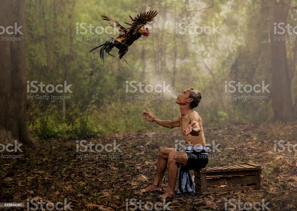 Asian farmer training his fighting cock stock photo