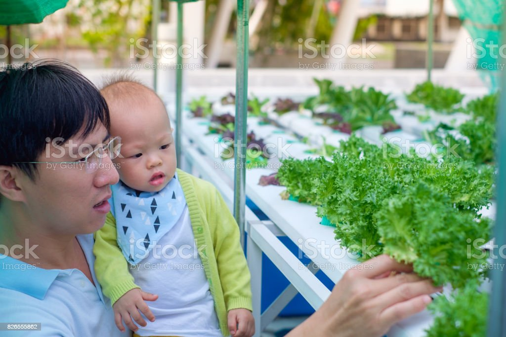 Asian Father and son harvesting organic vegetable in greenhouse of Hydroponics green vegetable garden stock photo
