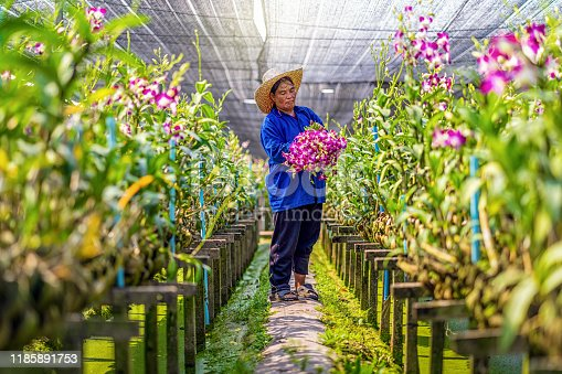 Asian gardener of orchid gardening farm cutting and collection the orchids, The purple colors are blooming in the garden farm, Purple orchids in farming of bangkok, thailand.