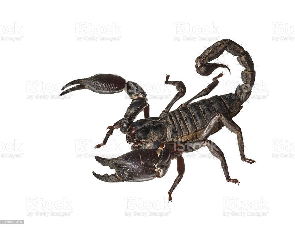 Asian giant forest scorpion (Heterometrus laoticus) royalty-free stock photo