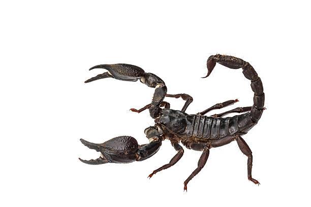 asian giant forest skorpion (heterometrus laoticus) - skorpion stock-fotos und bilder