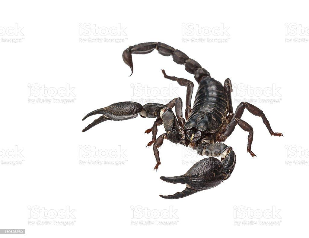 Asian giant forest scorpion (Heterometrus laoticus) stock photo