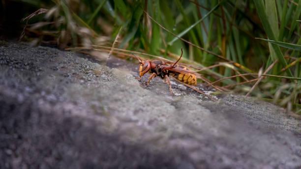 asian giant hornet. murder hornets. one vespa mandarinia. - murder hornet стоковые фото и изображения