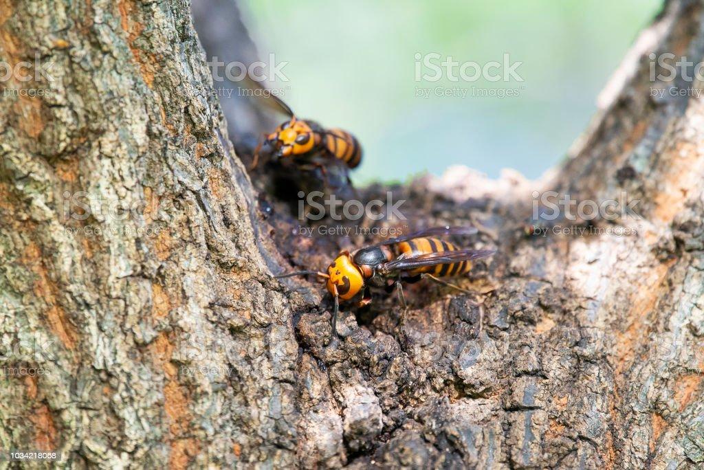Hornet gigante asiático hace su nido en un tronco de árbol. - foto de stock
