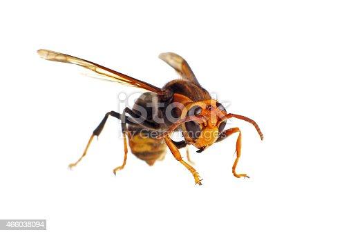 istock Asian Hornet 466038094