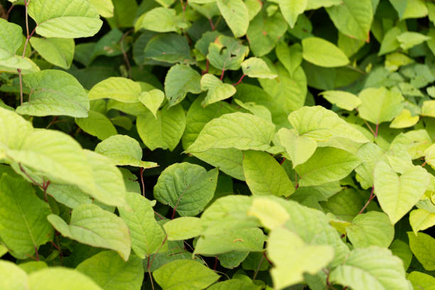 asian knotweed (fallopia japonica) - japanese knotweed stock pictures, royalty-free photos & images