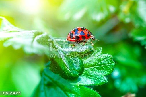 Asian ladybug. Harmonia axyridis