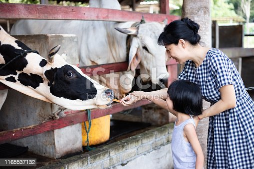Asian Little Chinese Girl and mother feeding a cow with Carrot in the Outdoor Farm