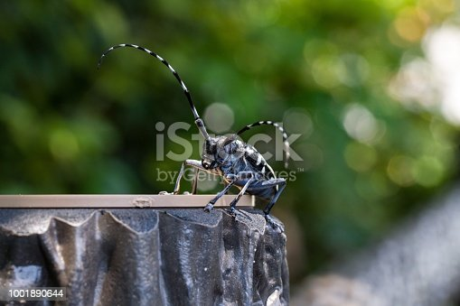 istock Asian longhorned beetle 1001890644