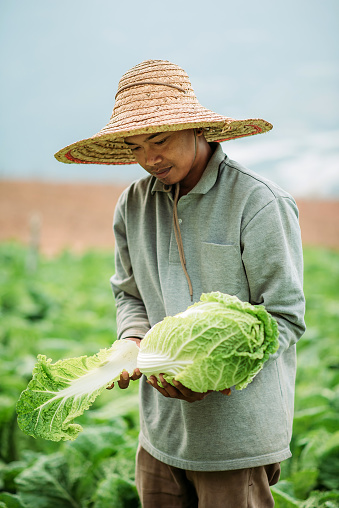 Asian male smiling farmer hands holding cabbage on fileds