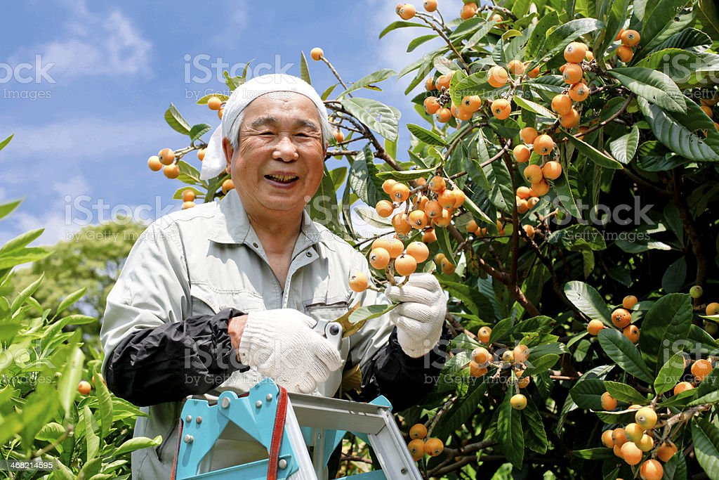 Asian man harvesting fruit on a nice day stock photo