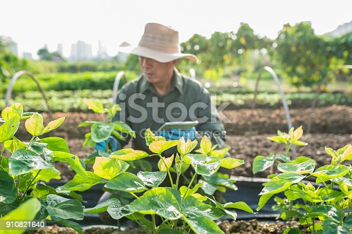 istock Asian old farmer checking soy bean field 910821640