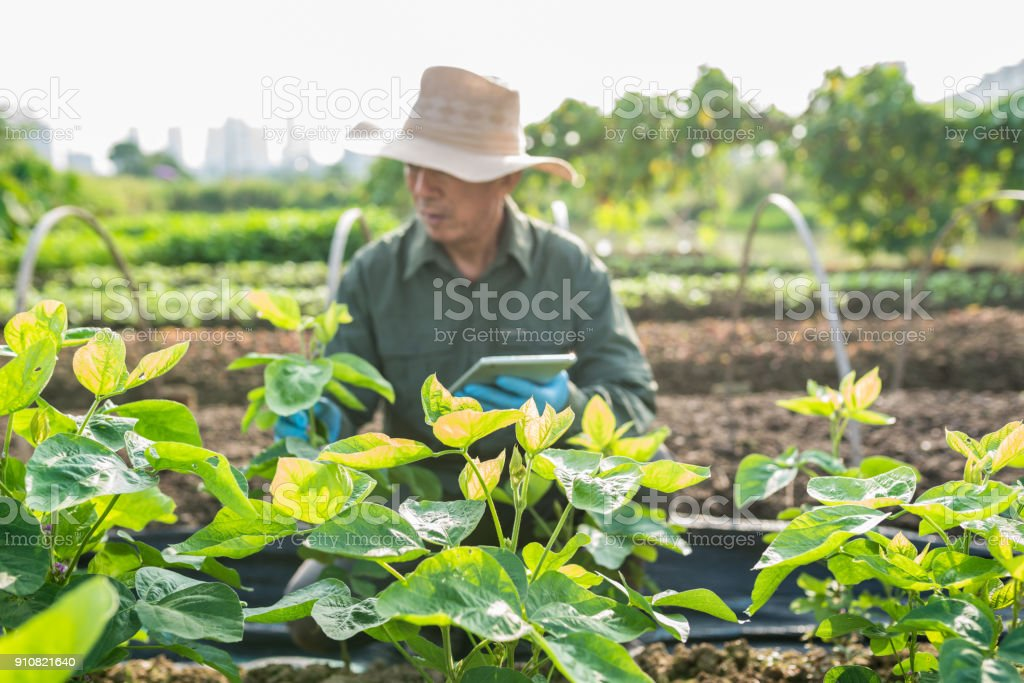 Asian old farmer checking soy bean field stock photo
