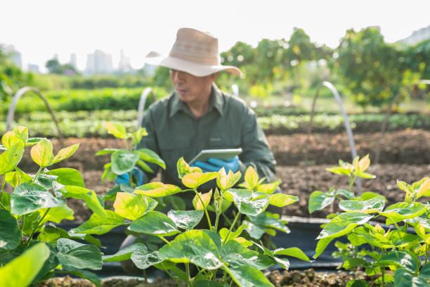 Agricultor asiático comprobación de campo de haba de soja - foto de stock