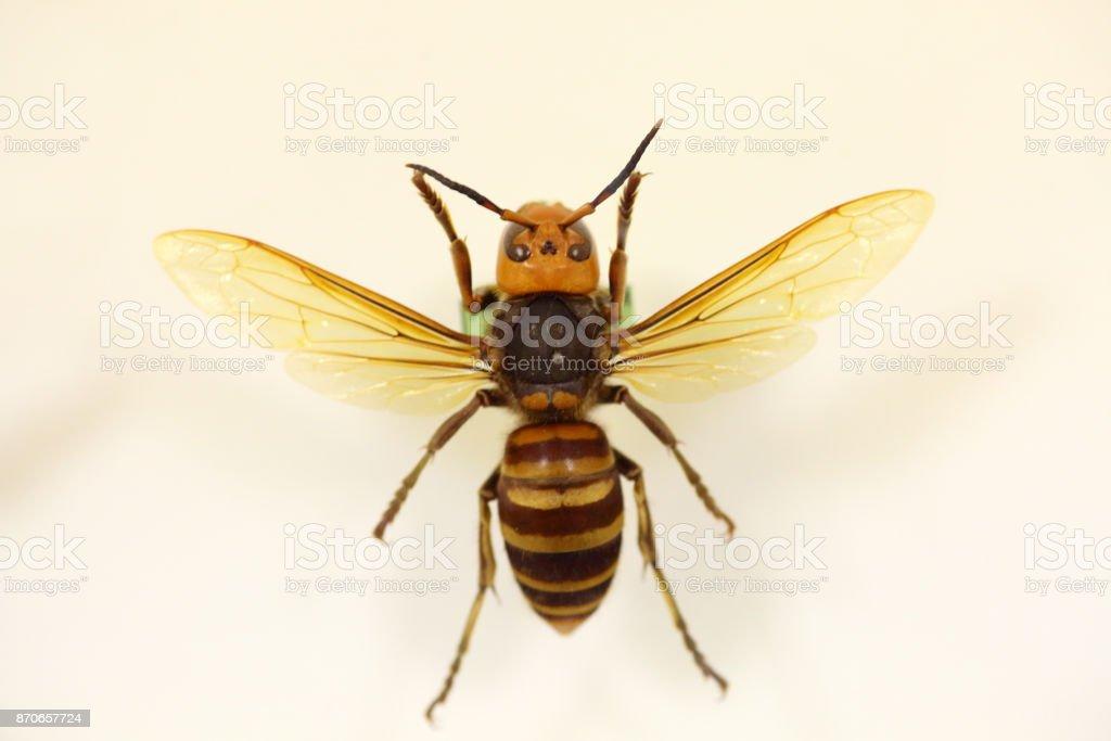 Asiáticos o japoneses hornet gigante (Vespa mandarinia) aislado - foto de stock