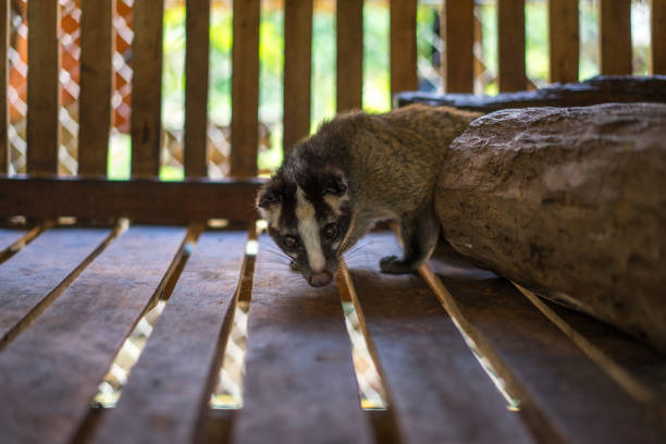 asia civeta de las palmeras ubicado en una jaula para la producción de café. que son famosos por ayudar en la producción de café más caro del mundo y perfumes caros. - gato civeta fotografías e imágenes de stock