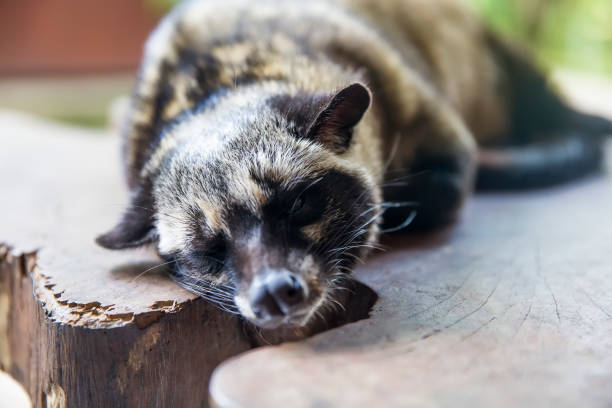 civet de palma asiática (paradoxurus hermaphroditus) - gato civeta fotografías e imágenes de stock