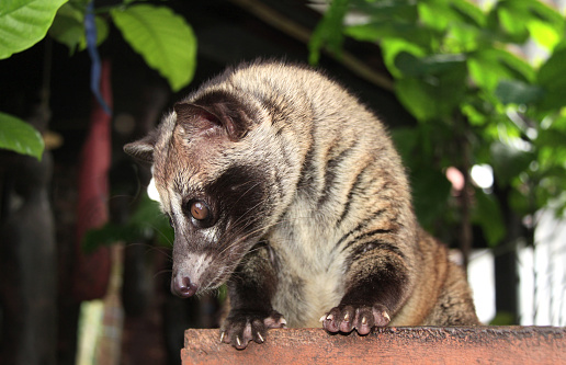 Asian Palm Civet Produces Kopi Luwak Stock Photo - Download Image Now -  iStock