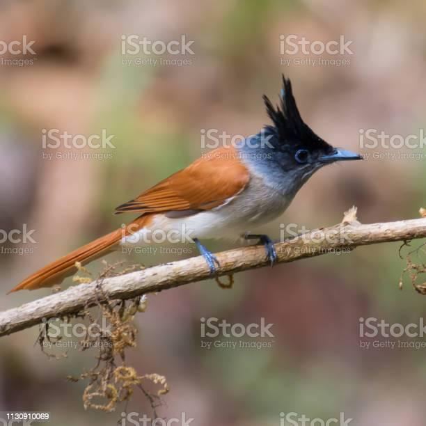 Asian paradise flycatcher female picture id1130910069?b=1&k=6&m=1130910069&s=612x612&h=feyedbcvwkbiebtt0qrnolgmrjlqcvmwu9v9  omw6e=